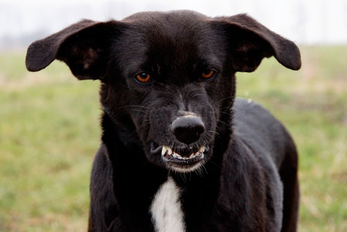 La agresión en los perros